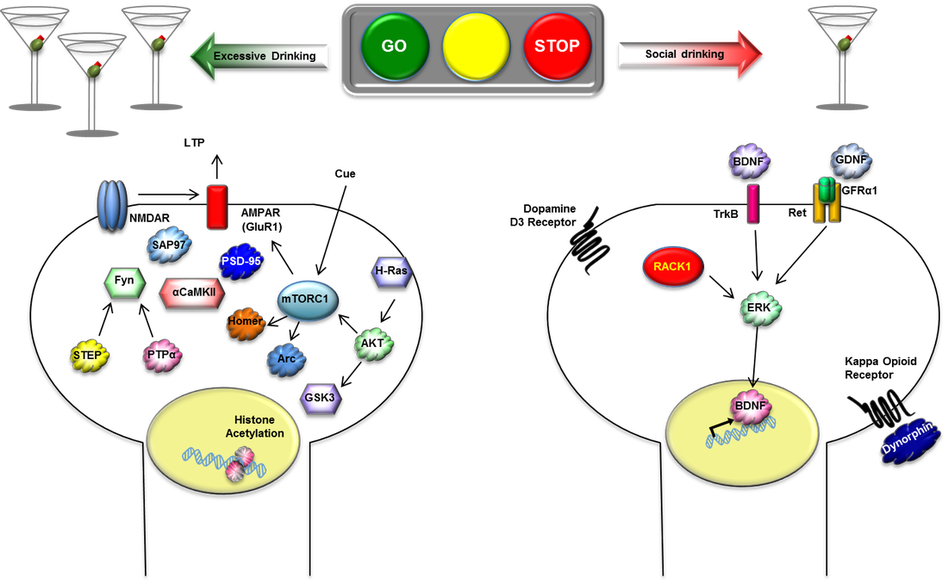 the signaling pathways underlying the light and dark sides of alcohol ...